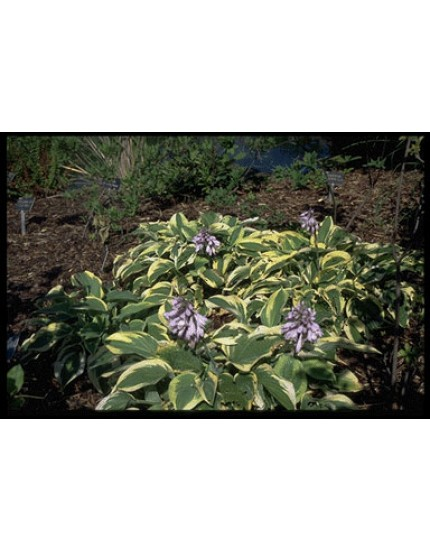 Hosta 'Wide Brim' P11