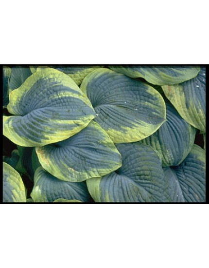 Hosta sieboldiana 'Frances Williams' P11
