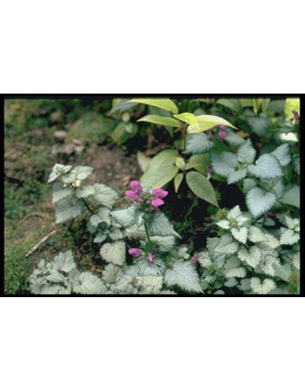 Lamium macculatum 'Beacon Silver'