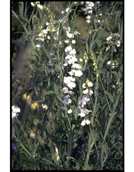 Lathyrus latif. 'White Pearl'