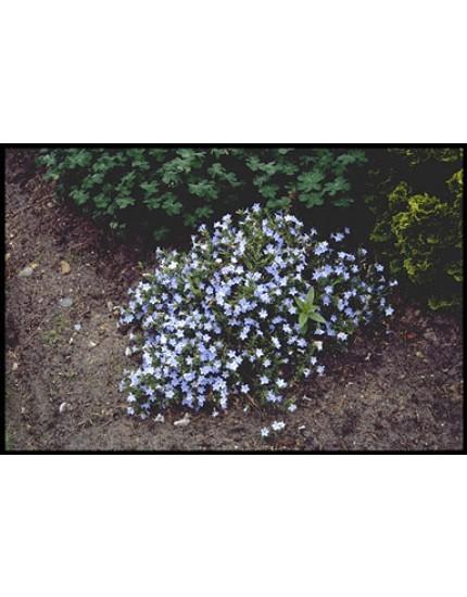 Lithodora diff. 'Cambridge Blue'