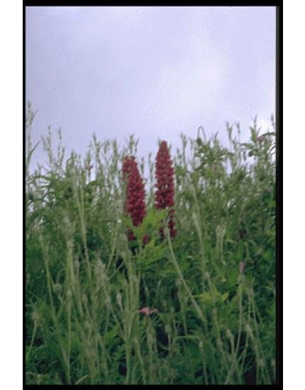 Lupinus 'Russell Hybrides'