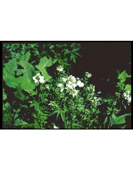 Polemonium caerul. 'Album'