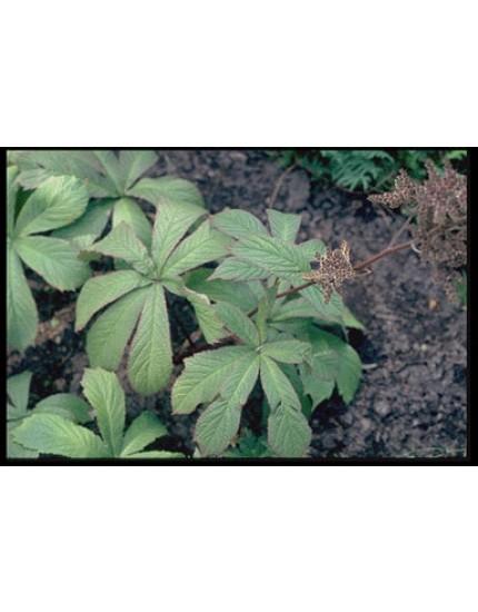 Rodgersia aesculifolia P11