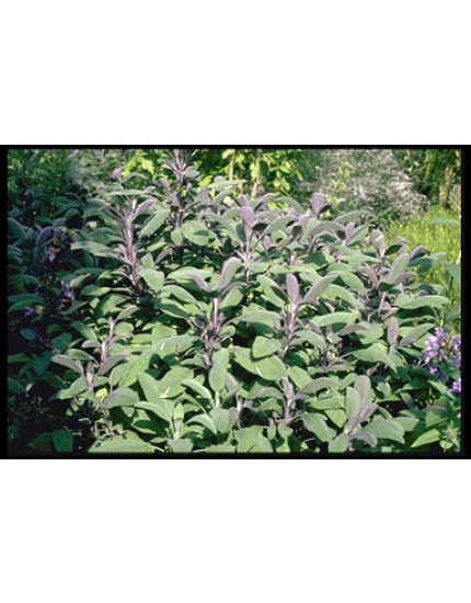 Salvia officinalis 'Purperascens'