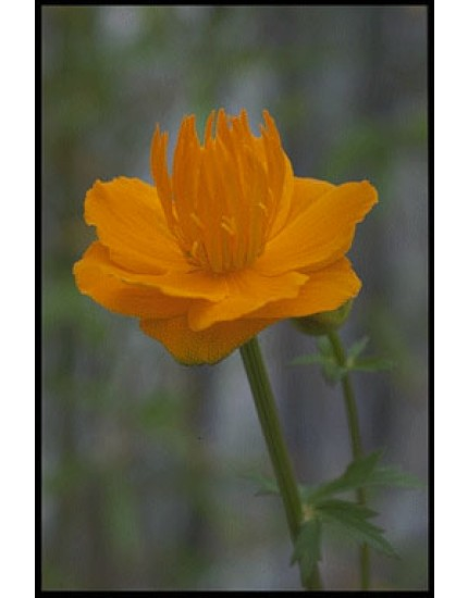 Trollius chin. 'Golden Queen'