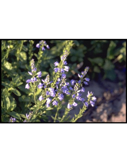 Veronica austriaca 'Shirley Blue'