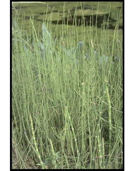 Equisetum fluviatilis