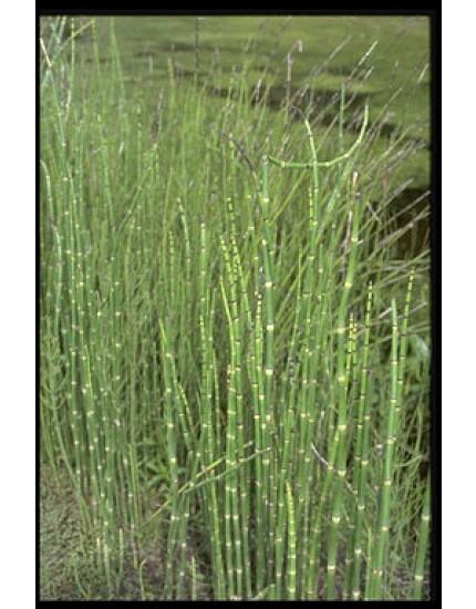 Equisetum japonica