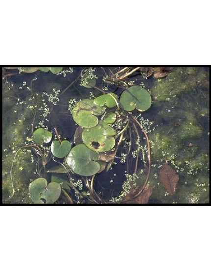 Hydrocharis morsus-ranae
