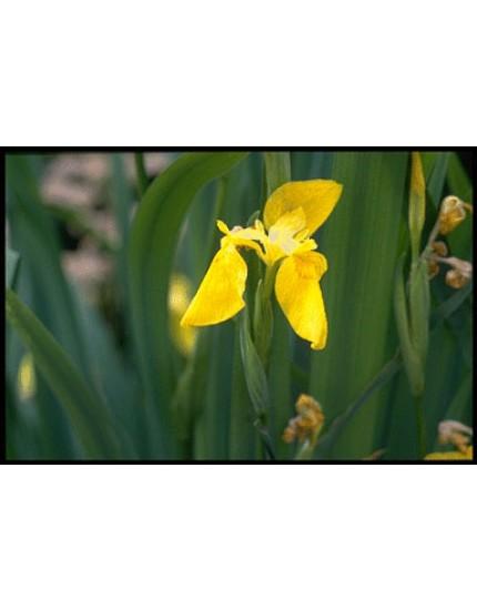 Iris pallida var. dalmatica