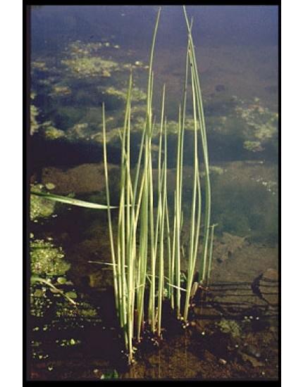 Scirpus lacustris 'Albescens'