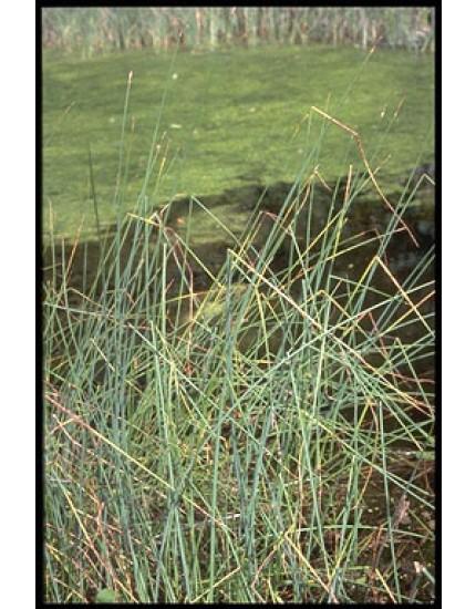 Scirpus tabernaemontani zebrinus