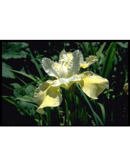 Iris siberica 'Butter & Sugar'