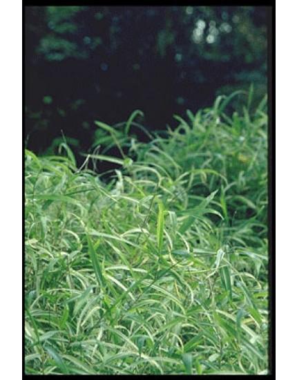 Pleioblastus chino 'Elegantissumu