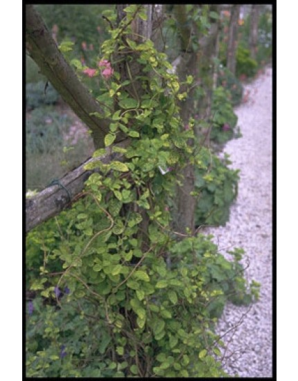 Lonicera jap. 'Aureoreticulata'