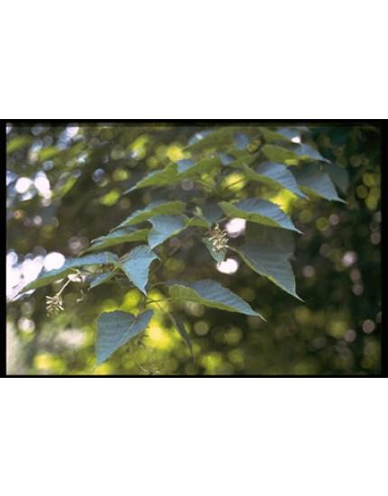 Acer grosseri