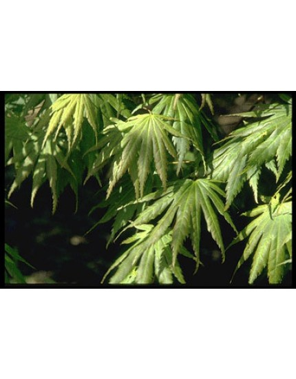 Acer palmatum 'Heptalobum'