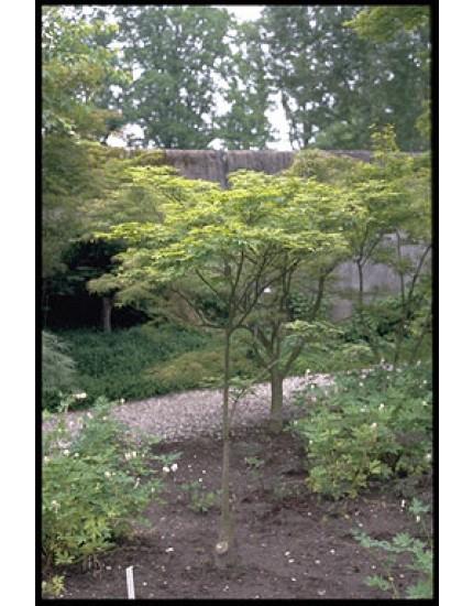 Acer palmatum 'Kagero'