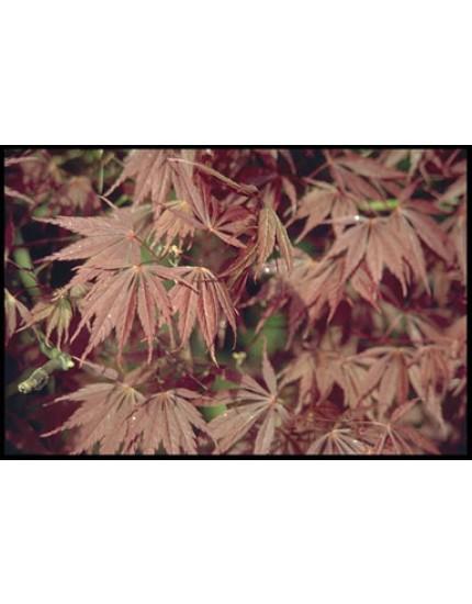 Acer palmatum 'Sherwood Flame'
