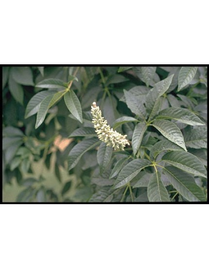 Aesculus californica