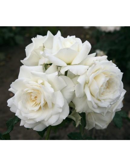 Rosa 'Alaska'
