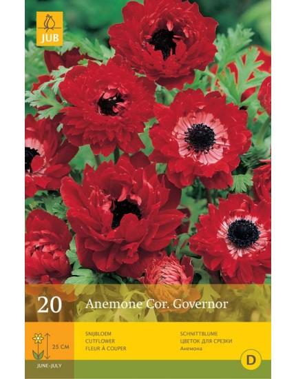 Anemone Coronaria Governor