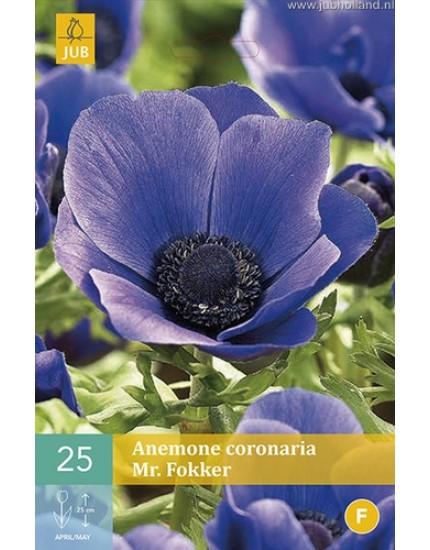 Anemone coronaria 'Mr. Fokker'