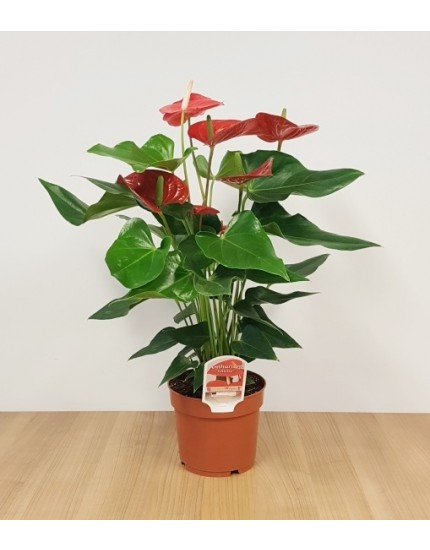 Anthurium 'An Felicita'
