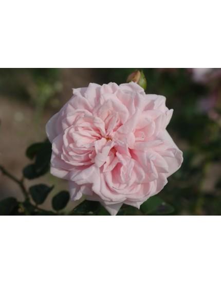 Rosa 'Awakening'
