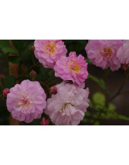 Rosa  'Brise Parfum'