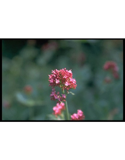 Centranthus ruber BIO