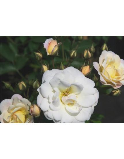 Rosa  'Cream Meidiland'