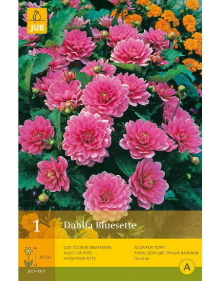 Dahlia Bluesette