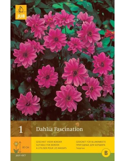 Dahlia Fascination