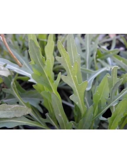 Diplotaxis tenuifolia 'Roma'