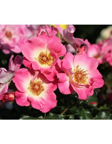 Rosa 'Dolomiti'