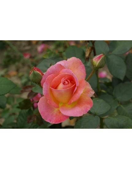 Rosa 'Elle Meilland'