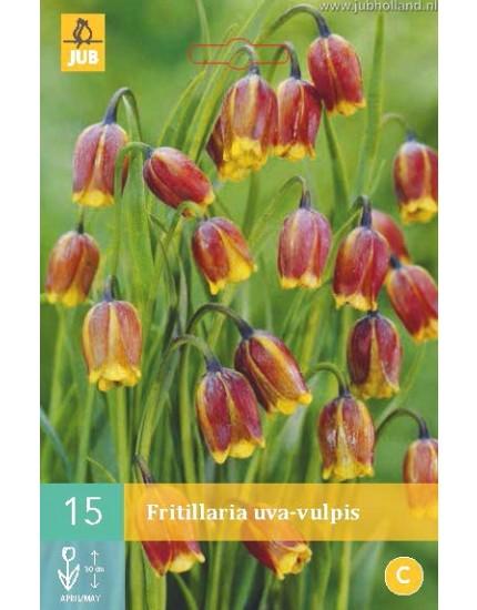 Fritillaria uva-vulpis