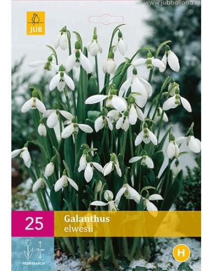 Galanthus 'Elwesii'