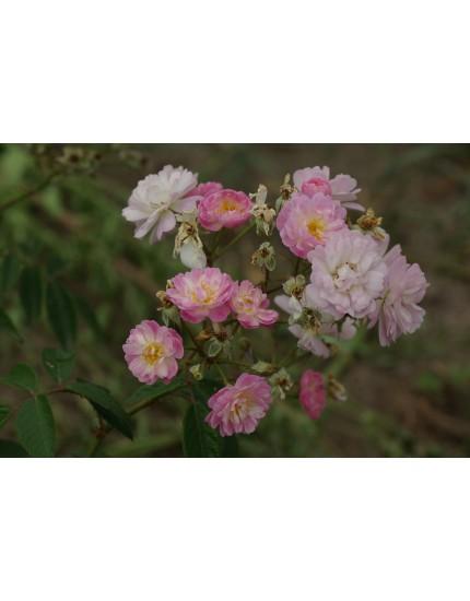 Rosa 'Guirlande Rose'