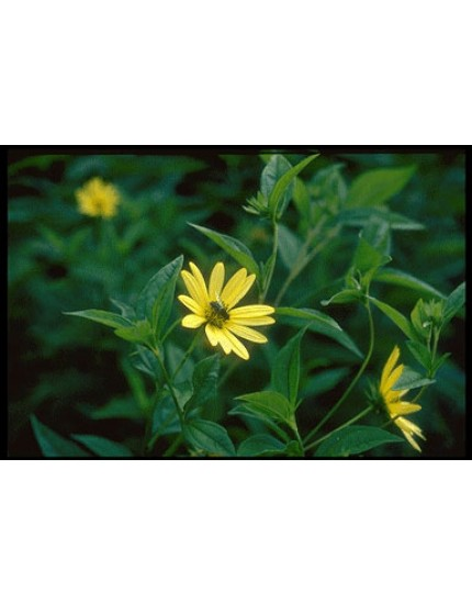 Helianthus lemon 'Queen'