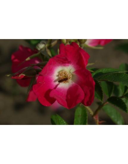 Rosa 'Himmelsstürmer'