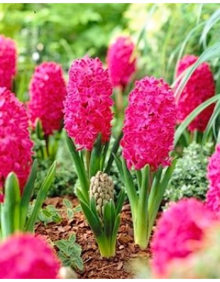 Hyacinthus 'Jan Bos'