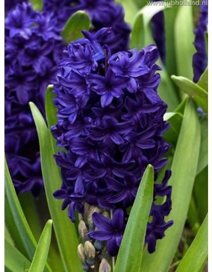 Hyacinthus 'Aida'