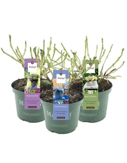 Hydrangea macrophylla Magical Mix