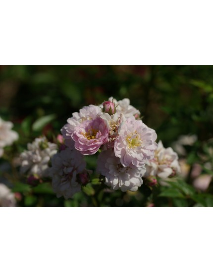 Rosa 'Little Rambler'