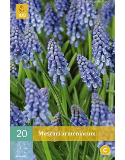 Muscari armeniacum