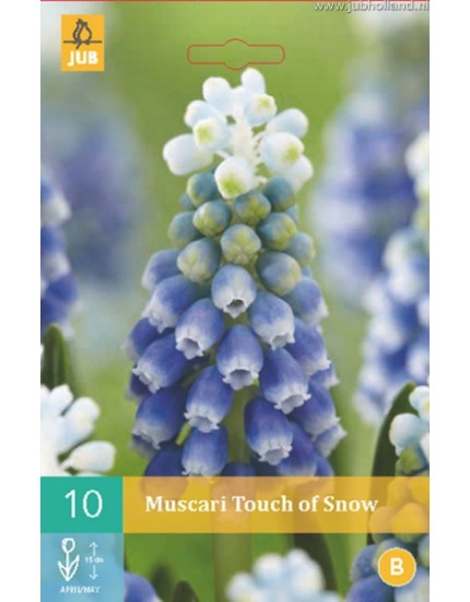 Muscari 'Touch of Snow'