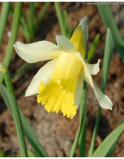 Narcissus 'Lobularis'